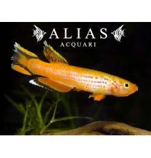 Aphyosemion australe «Gold»