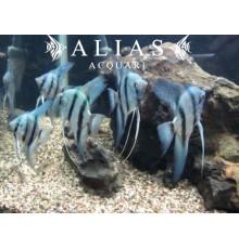 Pterophyllum scalare comune blue