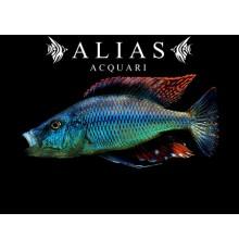 Haplochromis (Dimidiochromis) Compressiceps