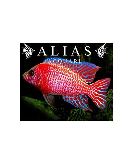 Aulonocara sp. Red dragon
