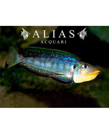 Enantiopus melanogenys «Kilesa»