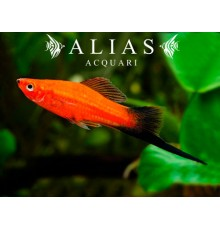 Xiphophorus helleri red wagtail