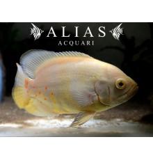 Astronotus Ocellatus Albino
