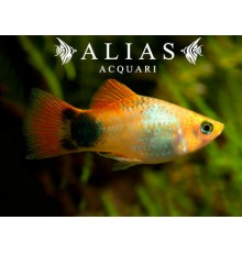 Platy Emerald Mickey Mouse