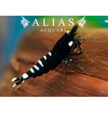 Taiwan Bee Pinto Black Shrimp