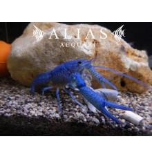 Procambarus Alleni Blue