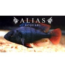 Astatotilapia Nubila (Haplochromis nubilus)