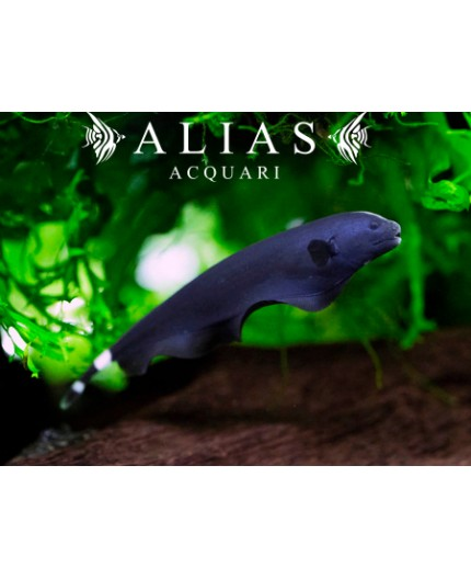 Apteronotus Albifrons