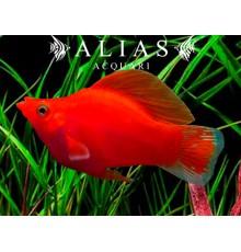 Poecilia latipinna ballon molly red