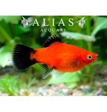 Xiphophorus maculatus red wagteil