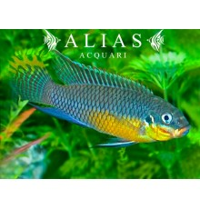 Pelvicachromis Taeniatus niger green