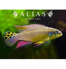 Pelvicachromis Taeniatus (Kribensis) molive