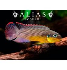 Pelvicachromis Taeniatus (Kribensis) lobe