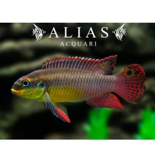 Pelvicachromis Taeniatus (Kribensis) kienke