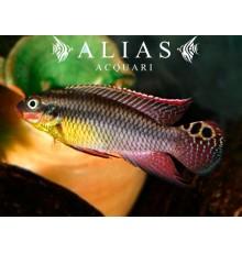 Pelvicachromis Taeniatus (Kribensis) dehane