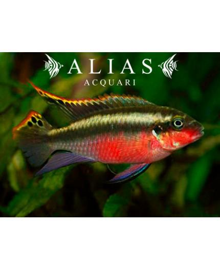 Pelvicachromis pulcher super red