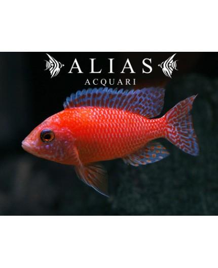 Aulonocara sp. Firefish