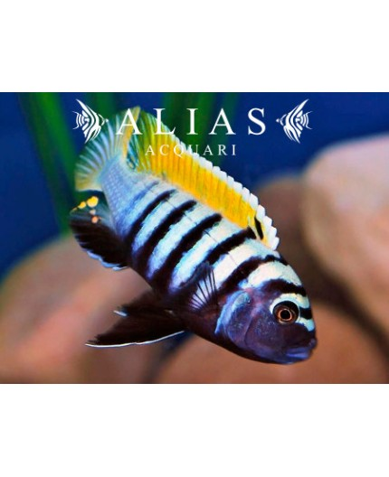 Cynotilapia sp. Jalo Reef