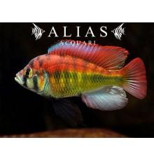 Haplochromis Aeneocolor