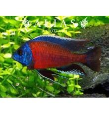 Haplochromis (Copadichromis) Borleyi red fin