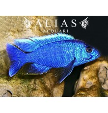 Haplochromis (Copadichromis) Ivory Undu reeff