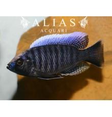 Haplochromis (Copadichromis) Jacksoni