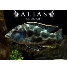 Haplochromis (Nimbochromis) Livingstonii