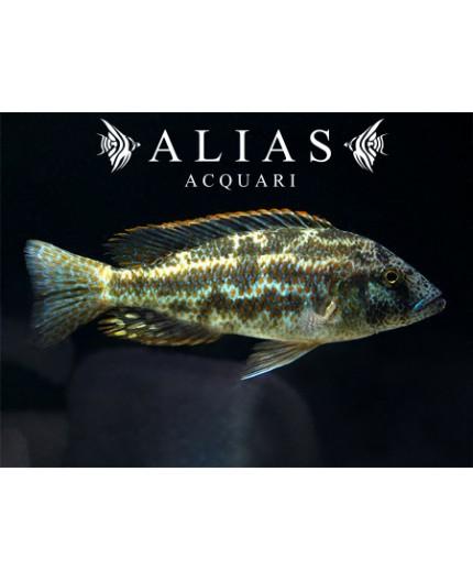 Haplochromis Polystigma