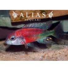 Haplochromis Salmon