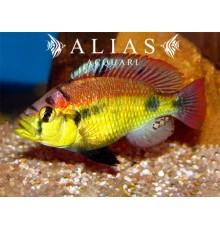 Haplochromis sp. yellow belly