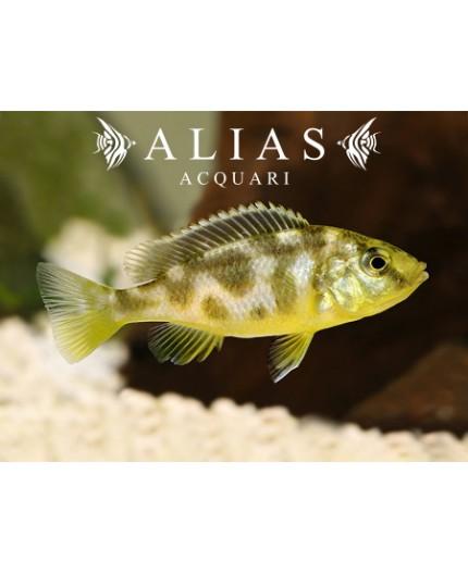 Haplochromis Venustus