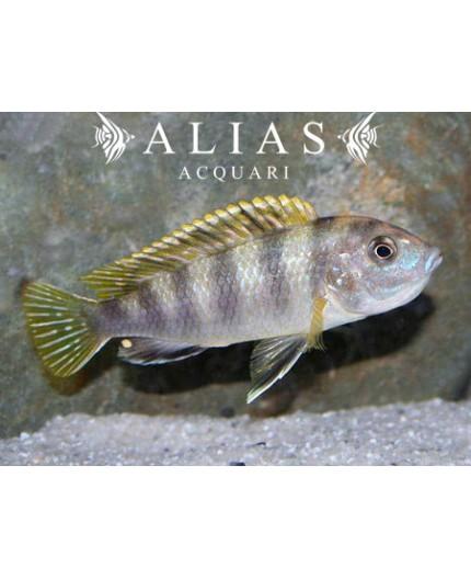 Labidochromis sp. Perlmutt