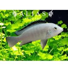 Labidochromis sp. White