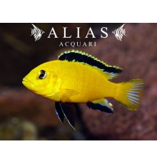 Labidochromis Species yellow