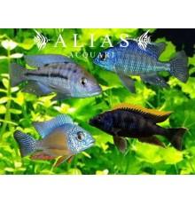 Malawi cichlid mix selection