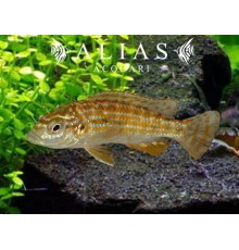 Melanochromis Joanjohnsonae