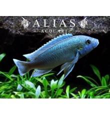 Melanochromis Lepidofage