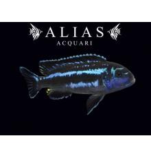 Melanochromis Maingano (Pseudotropheus cyaneorhabdos)