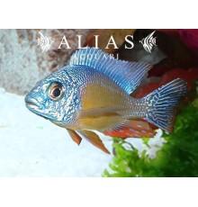 Protomelas sp. Taiwan reef