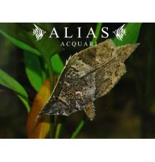 Monocirrhus polyacantus