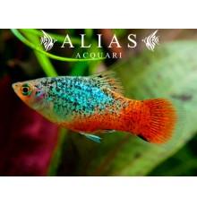 Xiphophorus maculatus Blue Red