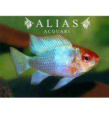 Papiliochromis ramirezi Blu Red Head