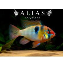 Papiliochromis ramirezi asia