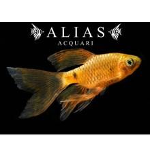 Barbus conchonius gold long fin