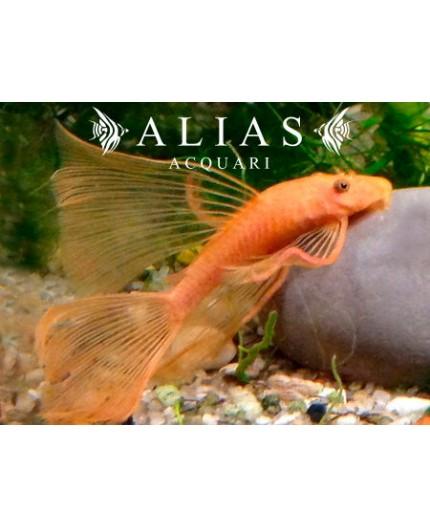Ancistrus sp. super red long fin