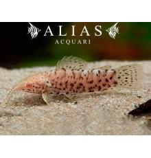 Hoplosternum thoracatum albino