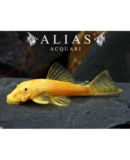 Ancistrus sp. gold