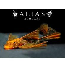 Ancistrus red black long fin