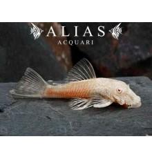 Ancistrus albino