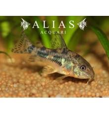 Corydoras Paleatus